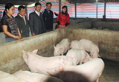 Với những kiến thức tiép thu được, chị Hải đã mạnh dạn mở rộng mô hình chăn nuôi lợn lên 100 con.
