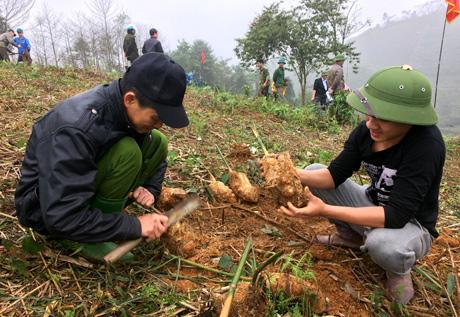 Người dân thôn 9, xã Hưng Khánh (Trấn Yên) kiểm tra giống tre măng Bát độ trước khi trồng.