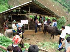 Mô hình canh tác bền vững trên đấy dốc kết hợp chăn nuôi đại gia súc ở thôn Tấu Dưới, xã Trạm Tấu. Ảnh: Thành Trung.
