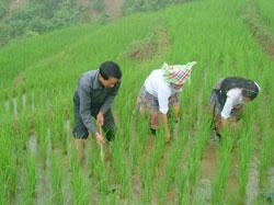 Cán bộ xã trực tiếp hướng dẫn việc canh tác lúa nước với đồng bào Mông xã Bản Mù.
