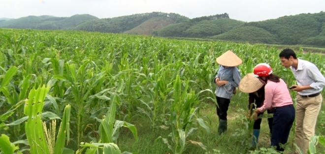 Hàng chục ha ngô của người dân 2 xã Tân Lập, Phan Thanh của huyện Lục Yên bị sâu tấn công mà chưa có thuốc đặc trị.