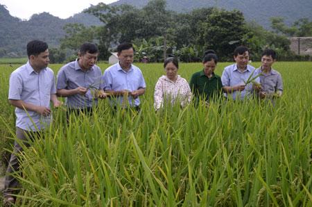 Các đại biểu tham quan mô hình giống lúa Khải Phong số 7 tại xã Khánh Thiện, huyện Lục Yên.
