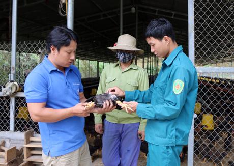 Là người đầu tiên mang giống gà Minh Dư về Yên Bái, đến nay, gia đình anh Nguyễn Tiến Sơn, xã Minh Quán, Trấn Yên có 2 vạn con gà.