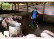 Anh Đỗ Văn Đức, thôn Ngòi Sen, xã Văn Tiến, thành phố Yên Bái phun hóa chất tiêu độc khử trùng khu vực chăn nuôi lợn.
