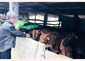 Ông Sùng A Giống chăm sóc đàn trâu, bò.