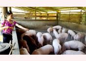 Người chăn nuôi lợn ở Trạm Tấu thường xuyên vệ sinh chuồng trại sạch sẽ.