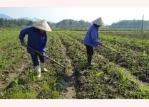 Nông dân xã Yên Bình chăm sóc cây ngô đông trên chân ruộng 2 vụ lúa.