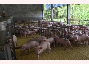 Nhiều hộ chăn nuôi lợn ở Đồng Nai đã tiếp tục tái đàn...