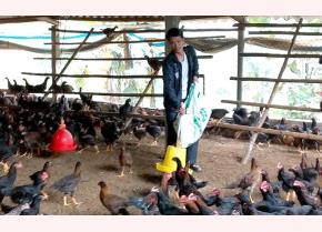 Mô hình nuôi gà Minh Dư của đảng viên trẻ Trương Quang Đại, thôn 2 cho hiệu quả kinh tế cao.