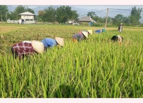Nông dân Thanh Lương thu hoạch lúa Séng cù sản xuất theo phương thức hữu cơ. (Ảnh: Thu Hạnh)