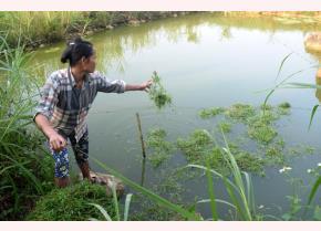 Ông bà  Nguyễn Văn Mãi và Nguyễn Thị Vẽ nhận thấy nuôi cá nhàn hơn khá nhiều so với nuôi lợn và cũng không ngại, không sợ như nuôi lợn do giá cả tương đối ổn định.