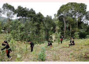 Dao people in Vien Son are taking care of cinnamon trees (Photo: Thanh Mien)