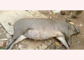 Heo rừng lai chết vì mắc dịch tả heo châu Phi.