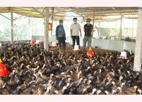 Mô hình chăn nuôi gà lai chọi của gia đình ông Bùi Đức Sạch (ngoài cùng bên trái).