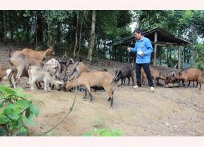 Nhờ chăm sóc tốt, nên dê của Tổ hợp tác nuôi dê núi do Sùng A Lâu làm Tổ trưởng luôn sinh trưởng, phát triển tốt, được khách hàng bao tiêu sản phẩm.