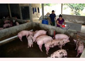 Đàn lợn nhà ông Tạ Minh Tân ở thôn Khả Lĩnh, xã Đại Minh, huyện Yên Bình hiện nay vẫn hoàn toàn khỏe mạnh.