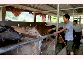 Được tạo điều kiện vay vốn và hướng dẫn kỹ thuật chăn nuôi, nhiều hộ gia đình trên địa bàn tỉnh đã vươn lên thoát nghèo.