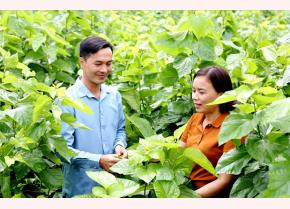 Lãnh đạo xã Việt Thành kiểm tra chất lượng dâu ở thôn Lan Đình.