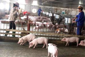 Các trang trại chăn nuôi quy mô lớn trên địa bàn tỉnh Yên Bái ngày càng phát triển.
