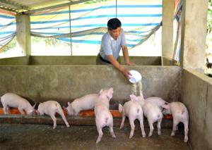 Ông Hưng chăm sóc lợn.
