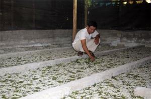 Mỗi năm, hộ ông Lê Văn Tiến nuôi bình quân 17 lứa tằm.