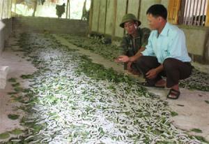 Đồng chí Hán Văn Thành trao đổi kỹ thuật nuôi tằm với người dân thôn Đồng Đát.