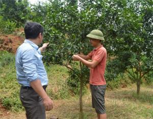 Phạm Văn San (bên phải) trao đổi kỹ thuật chăm sóc cam Đường canh với cán bộ địa chính - nông nghiệp xã.