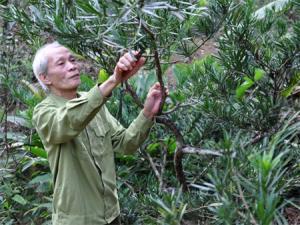 CCB Nguyễn Hoàng Phương cẩn thận chăm sóc từng gốc tùng La hán.