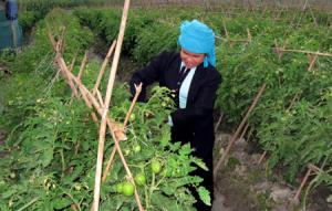 Nông dân xã Nghĩa Phúc thâm canh rau màu vụ đông trên đất hai vụ lúa mang lại hiệu quả kinh tế cao.