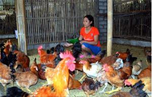 Từ nguồn vốn hỗ trợ, chị Trương Thị Mỹ Hiền, thôn Đức Tiến 1 đã phát triển nuôi gà quy mô 1.000 con/lứa cho hiệu quả kinh tế cao.