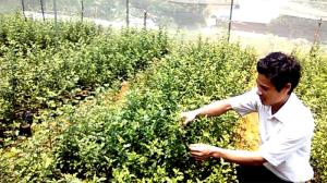 Kỹ sư Nguyễn Thành Hưng kiểm tra sinh trưởng của cây sơn tra giống tại vườn ươm.
