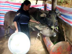 Người dân xã Chế Cu Nha đưa trâu, bò về chuồng nuôi nhốt trong những ngày giá rét.