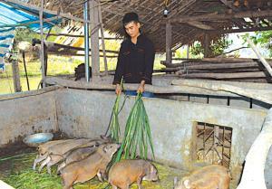 Bàn Tiến Nhị chăm sóc đàn lợn rừng giống.