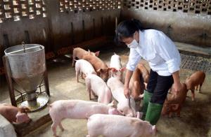 Để phòng bệnh LMLM, người chăn nuôi cần đặc biệt quan tâm tiêm vắc - xin phòng bệnh cho gia súc ở những vùng đã từng xảy ra dịch.