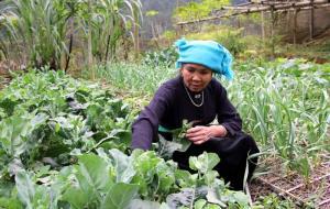 Bà Lò Thị Chài chăm sóc vườn rau sạch góp phần đem lại thu nhập cao cho gia đình.
