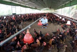 Chăn nuôi theo hướng trang trại, gia trại đang phát triển mạnh và mang lại giá trị kinh tế cao.