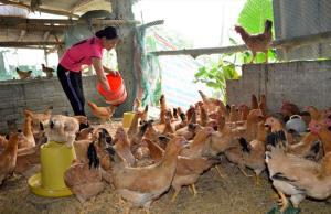 Chị Lương Thị Dương chăm sóc đàn gà đẻ trứng.