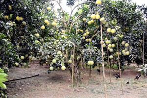 """Đề tài """"Nghiên cứu ảnh hưởng của phân bón đến chất lượng bưởi Đại Minh tại huyện Yên Bình, tỉnh Yên Bái"""" đã góp phần quan trọng nâng cao năng suất và chất lượng cây bưởi Đại Minh."""