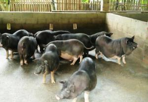 Dịch tả lợn Châu Phi đang là mối lo ngại của ngành chăn nuôi Việt Nam.