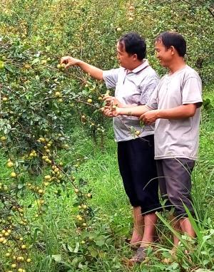 Sơn tra trồng tại xã Nậm Khắt, huyện Mù Cang Chải.
