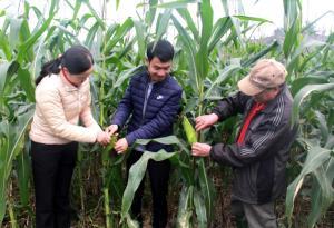 Cán bộ Trung tâm Dịch vụ, Hỗ trợ phát triển nông nghiệp huyện Văn Chấn kiểm tra chất lượng, năng suất ngô cấy theo phương pháp cải tiến trên khay.