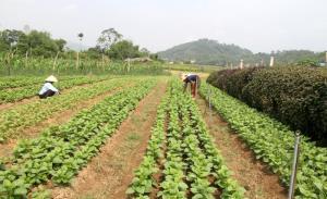 HTX Nông nghiệp và Dịch vụ Phú Đạt sản xuất rau theo tiêu chuẩn VietGAP.