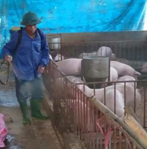 Anh Trần Văn Điểm ở tổ 10 thị trấn Yên Bình thường xuyên phun tiêu độc khử trùng để bảo vệ đàn lợn không bị dịch bệnh xâm nhiễm.