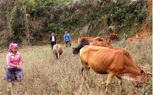 Mô hình chăn nuôi của gia đình chị Vàng Thị Cầu có hiệu quả cao.