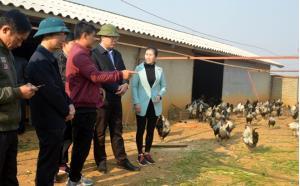 Lãnh đạo huyện Mù Cang Chải kiểm tra mô hình chăn nuôi gà đen giống bản địa tại xã Lao Chải.