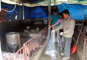 Cán bộ Phòng Nông nghiệp, Khuyến nông huyện Yên Bình cùng chủ hộ chăn nuôi rắc vôi bột phòng chống dịch bệnh.