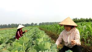 Nhờ được các cấp hội phụ nữ trong tỉnh hỗ trợ, 14 hộ hội viên ở thôn 5 và 6, xã Minh Tiến đã thành lập Hợp tác xã Sản xuất rau theo tiêu chuẩn VietGAP.