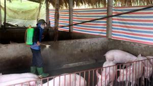 Cán bộ thú y xã Minh Tiến tăng cường vệ sinh môi trường, phun tiêu độc khử trùng chuồng trại cho đàn lợn. (Ảnh: Minh Huyền)