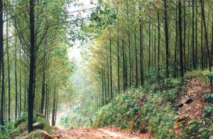 Nguồn nguyên liệu gỗ rừng trồng ở xã Vĩnh Kiên, huyện Yên Bình. (Ảnh: Thanh Miền)