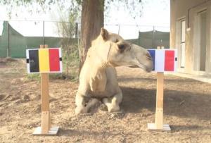 Tiên tri lạc đà dự đoán Pháp sẽ đánh bại Bỉ.